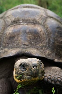 Galapas Giant Tortoise
